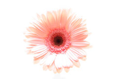 Pink daisy highkey. Pink daisy macro shot highkey and isolated over white. focus on center Stock Photos