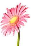 Pink daisy isolated. On a pure white background Stock Photos