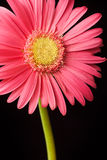 Pink daisy isolated Stock Image