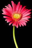 Pink daisy isolated Royalty Free Stock Images