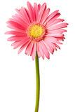 Pink daisy isolated. On a pure white background Stock Images