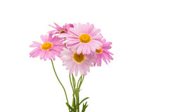 Pink daisy isolated Stock Photos
