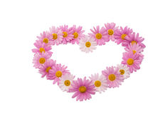 Pink daisy isolated Stock Photography