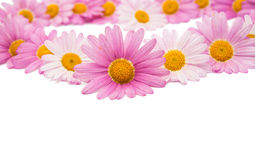 Pink daisy isolated Royalty Free Stock Image