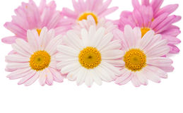 Pink daisy isolated Royalty Free Stock Photo