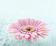 Pink daisy on light blue wooden background Royalty Free Stock Photography