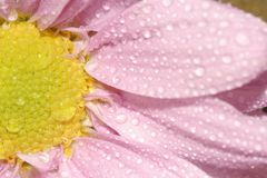Pink daisy macro. Closeup / macro of pink daisy with dew drops Royalty Free Stock Photos
