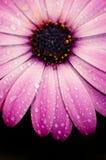Pink daisy macro Royalty Free Stock Image