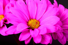 Pink Daisy Macro Stock Photo