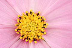 Pink daisy macro view Royalty Free Stock Photography