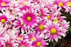 Pink daisy Stock Photography