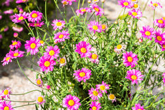 Pink daisy osteospermum flowers during spring season. Stock Images