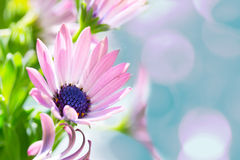 Pink daisy over teal bokeh Royalty Free Stock Photo