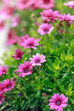 Pink daisy in the park. Pink daisy with green leaves in the park stock photo