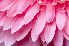 Free Pink Daisy Petails Stock Photo - 1672910