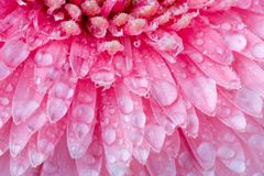 Pink daisy petails Royalty Free Stock Image