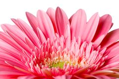Pink daisy petails Stock Image