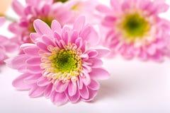 Free Pink Daisy Petails Stock Photos - 2599973