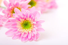 Pink daisy petails Royalty Free Stock Photos