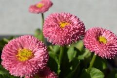 Pink daisy. Photo of pink daisy, macro royalty free stock images