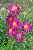 Pink Daisy Pyrethrum Stock Photo