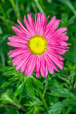 Pink daisy after the rain Stock Photography