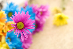 Pink Daisy with Shallow Depth of Field Stock Photo