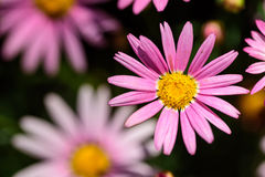 Pink daisy. Some pink daisy flowers from top view Stock Image