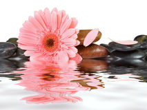 Pink daisy and spa stones Royalty Free Stock Images