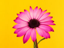 Pink daisy still life. A still-life composition of a daisy on a yellow background Stock Photography