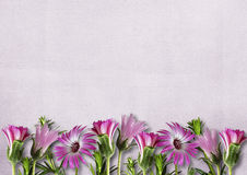 Pink daisy on a texture background with copy space Stock Photography