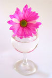 Pink daisy in water Stock Photography