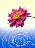 Pink daisy and water background Royalty Free Stock Photos