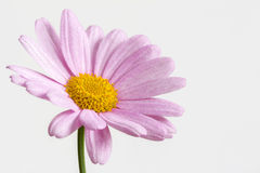 Pink daisy on white Stock Photo
