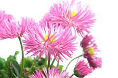 Pink daisy in a white background Royalty Free Stock Photo