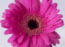 Pink daisy on a white background Royalty Free Stock Images