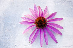 Pink Daisy. On white-blue background Stock Images