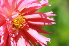Pink Daliah Royalty Free Stock Photography