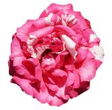 Pink damask rose flower on white background. Beautiful pink damask rose flower on white background stock photo
