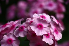 Pink and darkly pink. The phlox inflorescence is made by flowers with pink petals and darkly pink centre Stock Photo