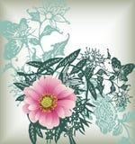Pink dasiy flower Stock Image