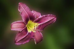 Pink day Lilly isolated Royalty Free Stock Image