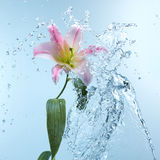 Pink day lily in cool splashing water Royalty Free Stock Images