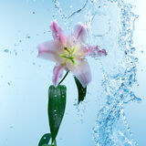 Pink day lily in cool splashing water Royalty Free Stock Photos