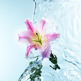 Pink day lily in cool splashing water Royalty Free Stock Photo