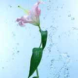 Pink day lily in cool splashing water Royalty Free Stock Photography