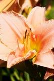 Pink daylily Royalty Free Stock Photo