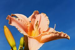 Pink daylily Stock Images