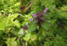 Pink Dead-nettle - Lamium royalty free stock images