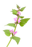 Pink dead-nettle (Lamium orvala), Stock Photo